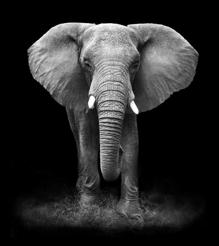 Loxodonta Africana, or African Bush Elephant, c.2013, Print on Photographic Paper