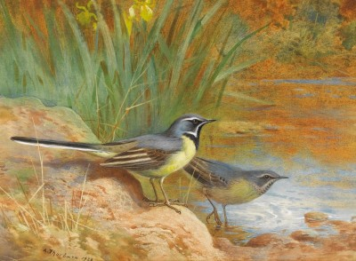 Grey Wagtails, c.1910, Watercolor on Paper