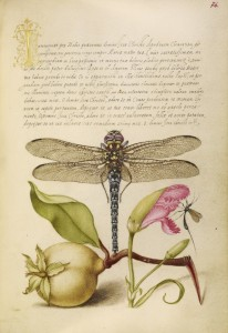 Dragonfly, Pear, Carnation, and Insect, c. 1562, Watercolors, gold, silver paint, and ink