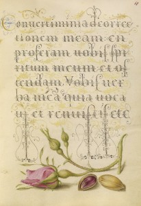 French Rose and Pistachio, c.1562, Watercolors, gold, silver paint, and ink